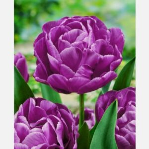 Tulipán Blue Diamond
