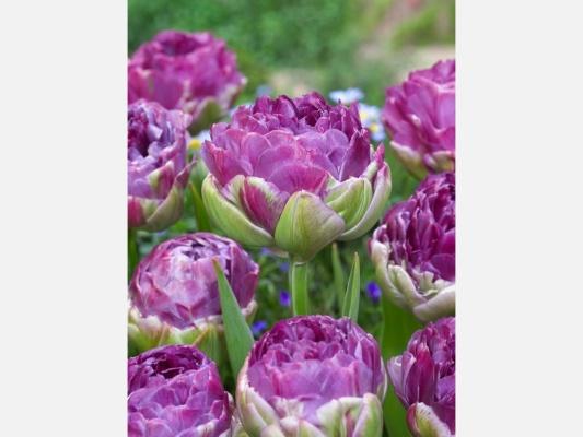 Tulipán Exquisit