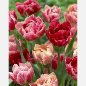 Tulipán Peptalk