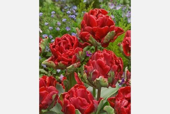 Tulipán Rococo Double