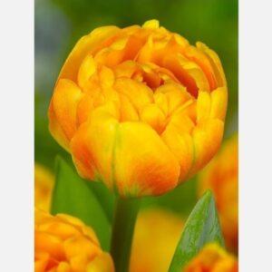 Tulipán Sunlover